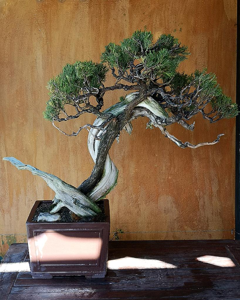 juniperus sabina 1.1